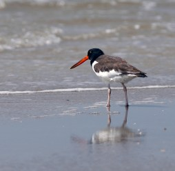 Oystercatcher at Galveston Island State Park
