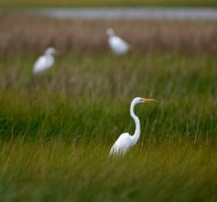 Great Egret in the marshlands behind Bolivar Flats