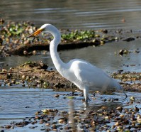 Great Egret snaps up a small fish