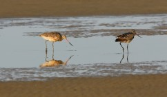 A pair of Marbled Godwit