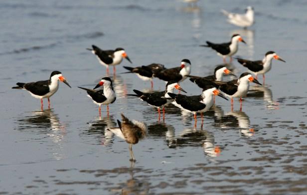 A flock on Bolivar Peninsula