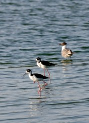 A pair of Stilts with a Laughing Gull in Corpus Christi Bay