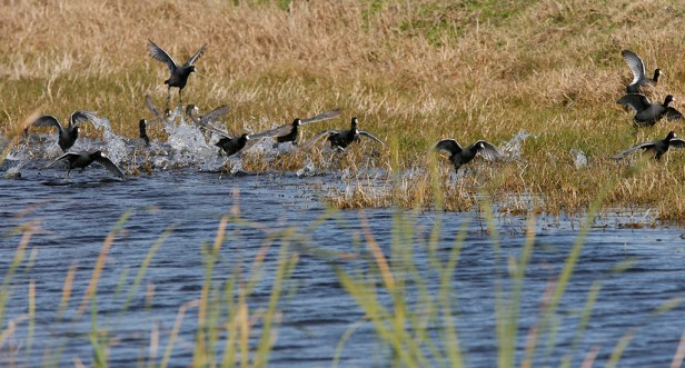 Ungainly takeoff of a flock of Coots at San Bernard National Wildlife Refuge