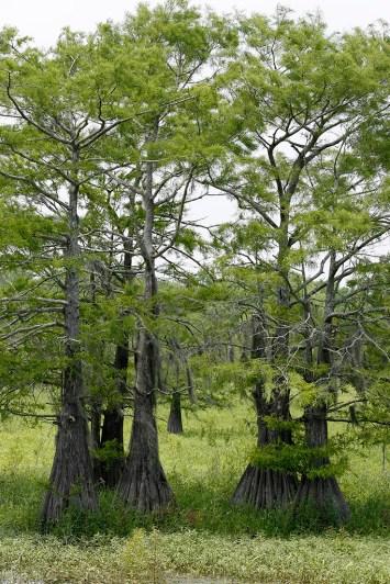 Cypress grove on Champion Lake