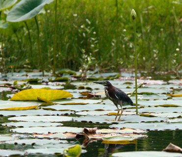 Green Heron on a pond