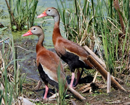 A pair of Black-bellied Whistling-Ducks in the reeds at 40-Acre Lake at Brazos Bend