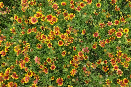 A blanket of Indian Blankets