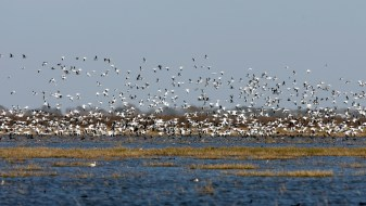 A flock of Snow Geese fly up from the marsh.