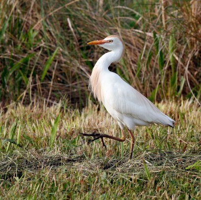 Cattle Egret along the canal