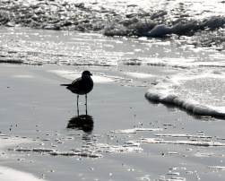 Laughing Gull in the surf