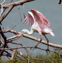 Spoonbill in its second year
