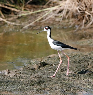 Black-necked Stilt strolling in the mud near the car trail
