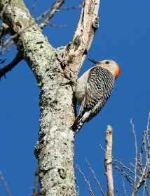 Red-bellied Woodpecker scouts for bugs in the bark.