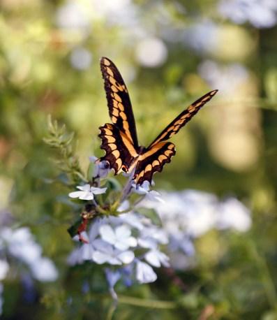 Giant Swallowtail the butterfly garden