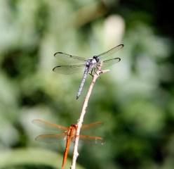 Great Blue Skimmer and Needham's Skimmer dragonflies near the boardwalk