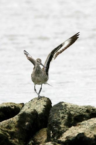 Willet preparing to take flight