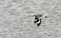Distinctive banding on wings in flight