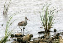 Willet on a rocky shore