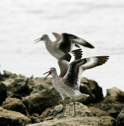 Willets on the rocky shore of Anahuac National Wildlife Refuge