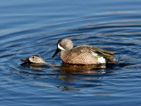 Blue-winged Teal courting