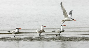 A trio of Royal Terns and one passing by