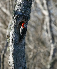 Red-bellied Woodpecker emerges from its hole in a dead tree.