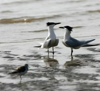 Two Sandwich Terns on Bolivar Flats
