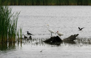 Great Egret, White Ibis, Black-necked stilt and Tri-colored Heron on Wolfcreek Wetlands