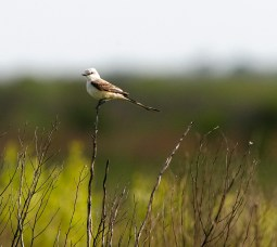 Scissortail Flycatcher on the prairie