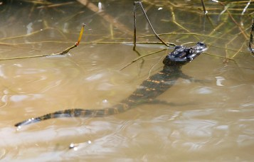 Baby alligator on the fringe of Wolfcreek Wetlands