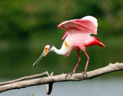 Roseate Spoonbill looking for a perch