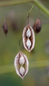 Seed pods near the meadow