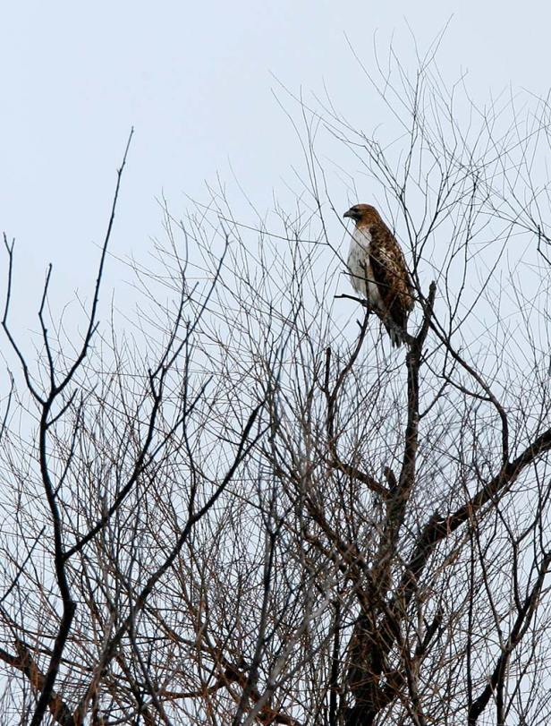 Red-tailed Hawk perched over the prairie