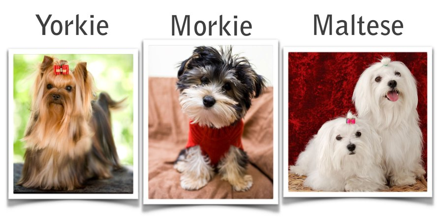 Small Dogs That Dont Shed Yorkie Morkie Maltese Deb Gray