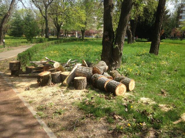 Garda de Mediu verifică dacă un arbore a fost tăiat legal de reprezentanții Primăriei Timișoara