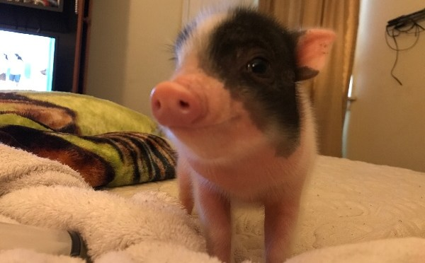 DeBary mini pig named Petals struggling to stay alive