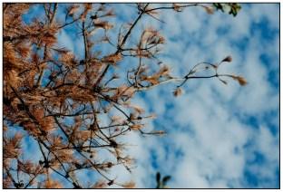 藍天白雲下的松樹