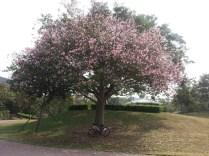 迪欣湖內唯一一棵粉紅色樹