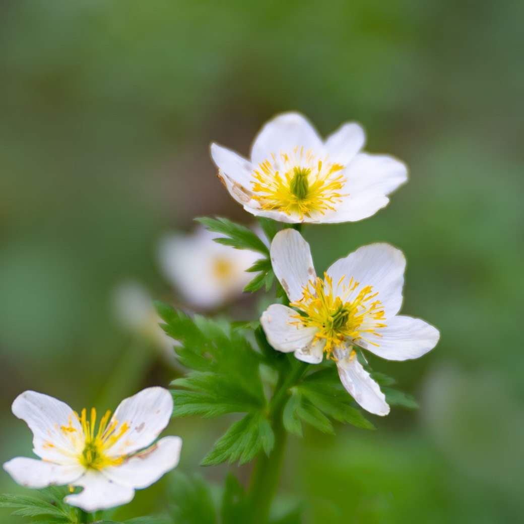 wildflower Marsh Marigold