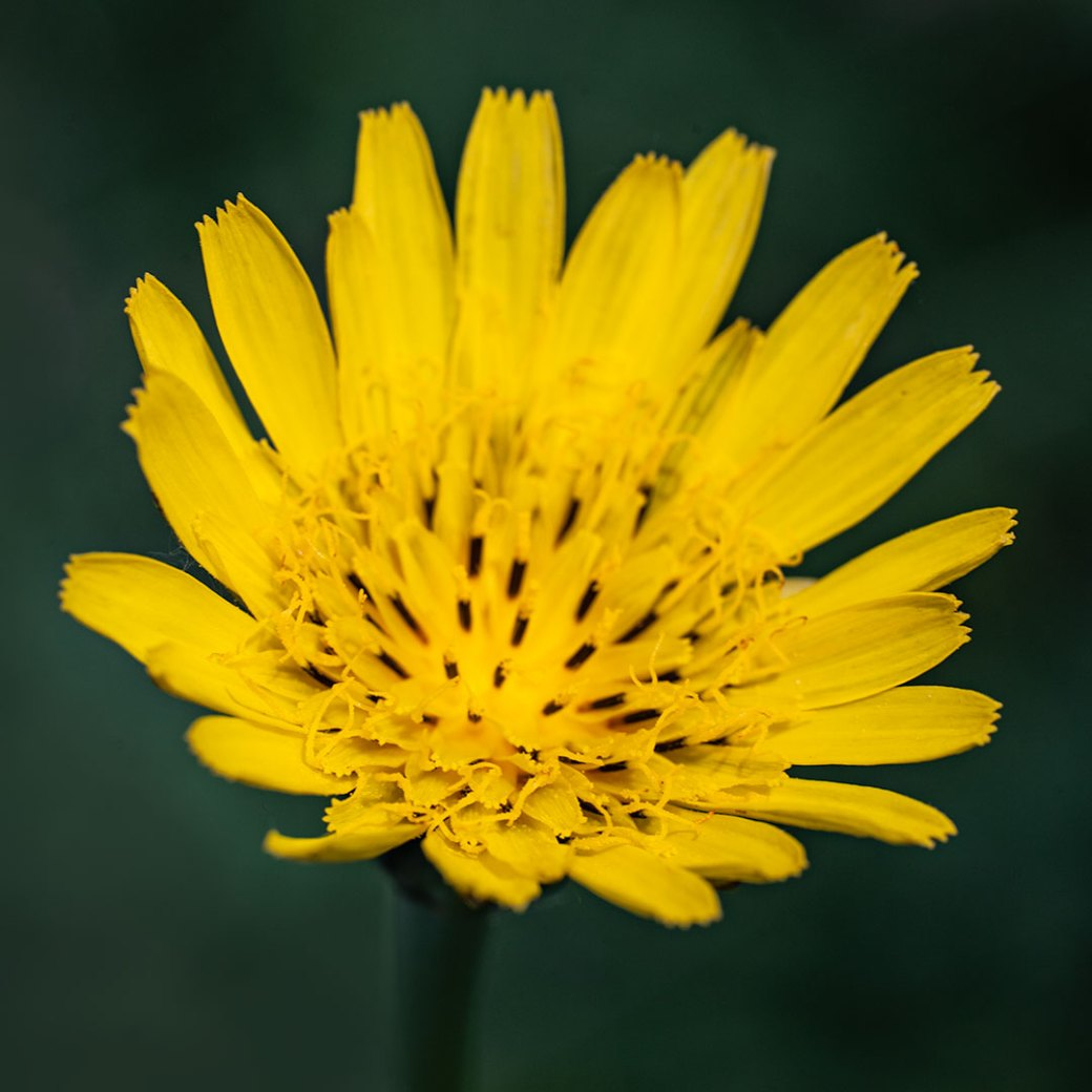 False dandelion Colorado wildflower