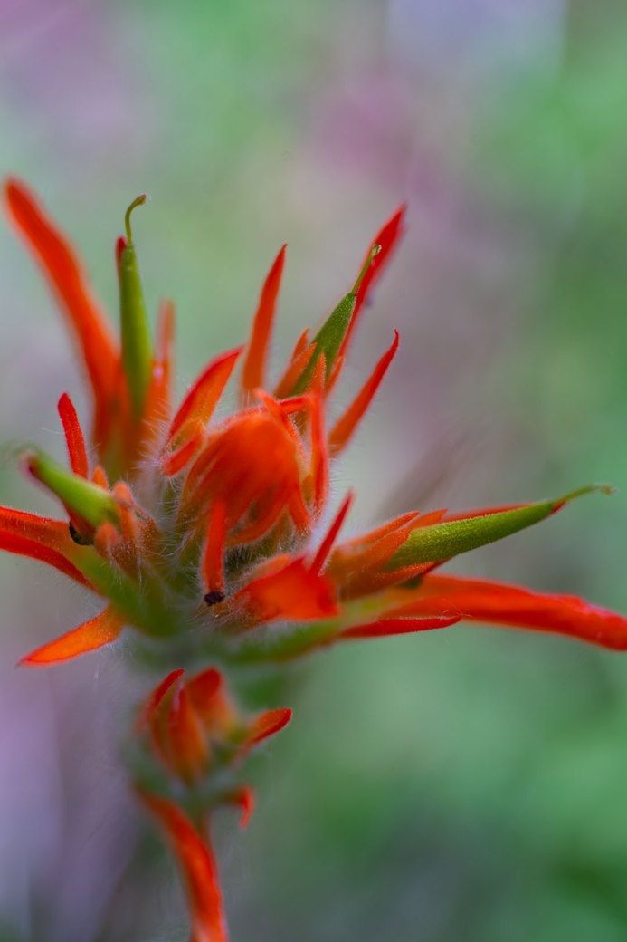 Indian paintbrush - Colorado wildflowers