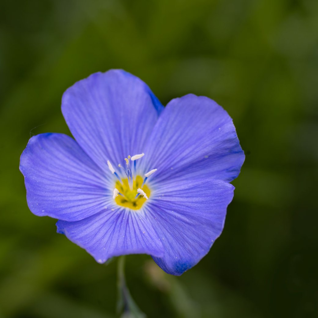 Blue Flax. Crested Butte wildflowers. Copyright ©Debbie Devereaux Photography