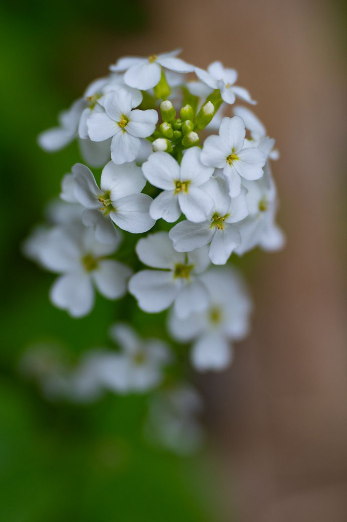 Northern Bedstraw wildflower. Image by Debbie Devereaux Photography