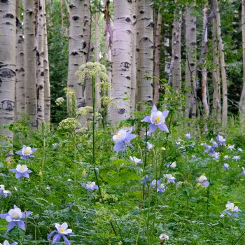 Colorado Columbine - Copyright Debbie Devereaux Photography