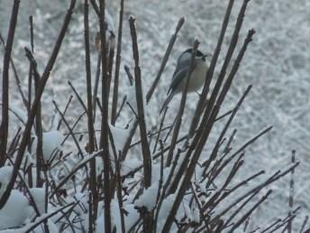 Birds and Snow 005