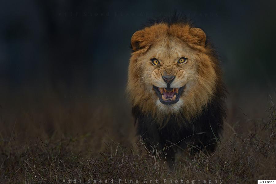 o-LION-900