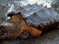 """[Video] Asombro en Rusia por la aparición de una """"tortuga dinosaurio"""" a orillas de un río"""