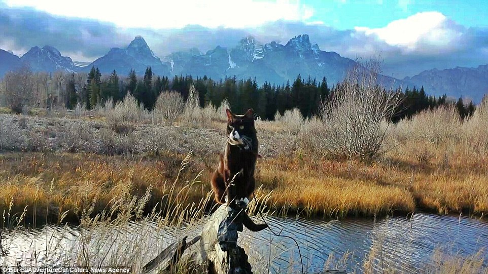 2D96EC2200000578-3281012-Pictured_in_Grand_Teton_National_Park_Wyoming_the_cat_has_racked-a-28_1445349726821