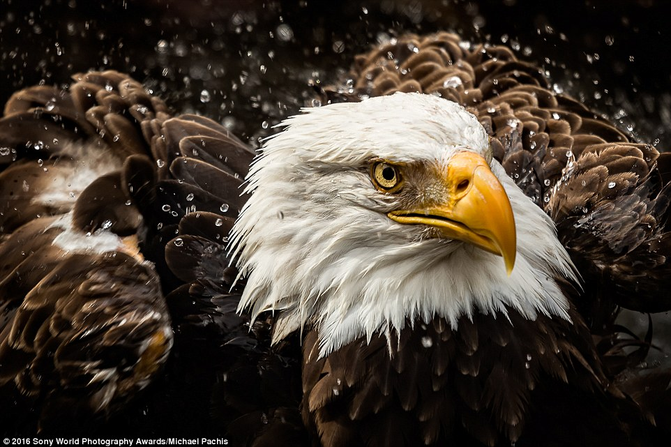 2DF29A4400000578-3296769-Michael_Pachis_s_incredible_image_shows_a_stunning_bald_eagle_ca-a-13_1446221848827
