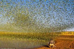 """Fotos impresionantes  muestran 80.000 periquitos formando un """"tornado verde"""""""
